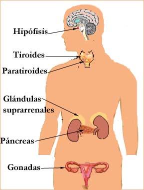 endocrino1